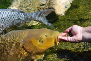 Карп Кои. Прудовые рыбы или содержание Карпов Кои
