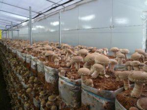 Выращивание шиитаке в промышленных и личных целях