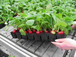 Выращивание и продажа редиса
