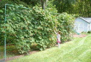 Выращиваем ежевику на дачном участке