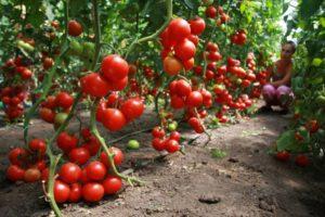Помидоры: особенности выращивания в теплице
