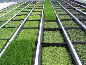 Выращивание зелени как бизнес — тепличное производство