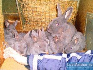 Кролик-акселерат или кролиководство по Михайлову