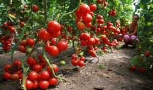 Выращивание томатов в теплицах и открытом грунте