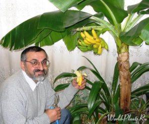 Как вырастить банан дома. Карликовый банан