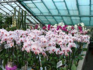 Бизнес идеи: орхидеи