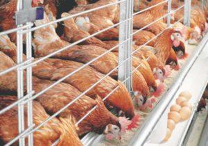 Малый бизнес в сельской местности: разведение кур несушек