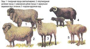Овцы и бараны романовской породы: характеристики, продуктивность