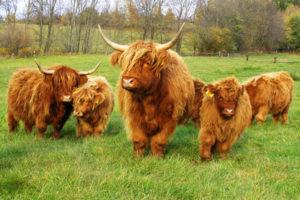 Мини коровы: карликовые и порода Хайленд