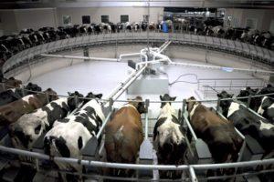 Разведение коров как бизнес в домашних условиях: Бизнес план молочной фермы