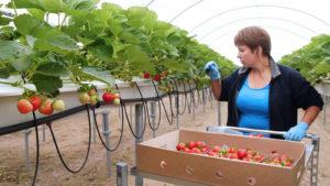 Бизнес на выращивании и переработке яблок в домашних условиях