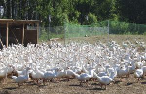 Выращивание и разведение гусей в домашних условиях