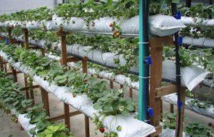 Выращивание клубники в домашних условиях круглый год: технологии