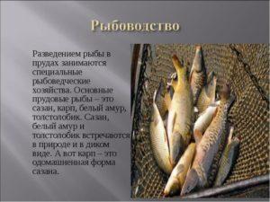 Разведение и размножение толстолобика