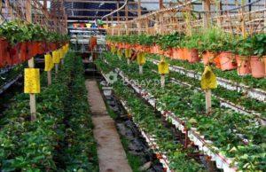 Технология выращивания клубники круглый год