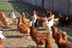 Куры-несушки: свой бизнес в сельской местности